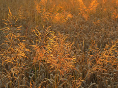 Golden Grass in the Wheat Field (Batikart ... handicapped ... sorry for no comments) Tags: natur nature flora pflanze plant frucht getreide grain crop rural cereal weizen wheat triticum landwirtschaft farming wheatfield weizenfeld landscape feld field agriculture detail corn brot bread gelb yellow orange gold golden light shadow sun sunlight evening abends sonnenuntergang sunset food leaf leaves macro makro sommer summer july closeup europa europe deutschland germany badenwrttemberg swabian fellbach remsmurrkreis geotagged canon g11 canonpowershotg11 batikart 2011 50faves 100faves