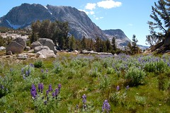 NPS - Yosemite National Park - Meadow and Lupines - Fletcher Peak and Vogelsang Peak in background (EdgarBStiles) Tags: california ca nationalpark meadow yosemite highsierra highcountry lupines vogelsang