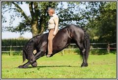 DSC_5421-border (amable) Tags: horses horse sun playing black animal riding pferd andalusian buckskin paard paarden friesian valk prance pferden tricktraining