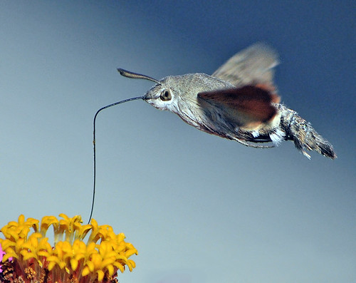 hummingbird hawk moth in  september