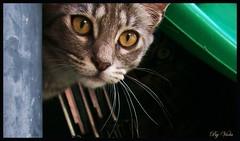 Micky & Puki (Simply Viola) Tags: cats animals kittens felini gatti animali gattini pukimicky