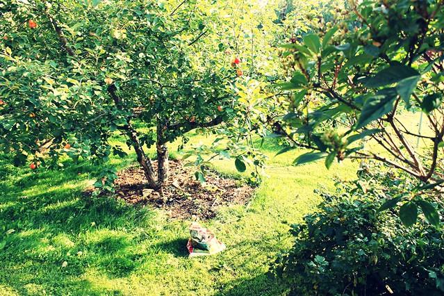 omenapuunalla