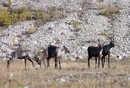 100_0711-Caribou