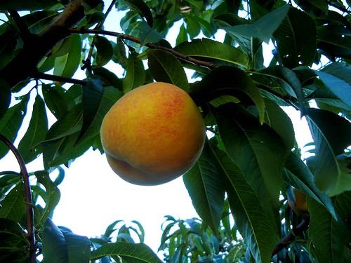Madison peach