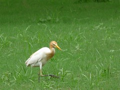 Cattle egret, grazing