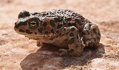 Bufo brongersmai (David Herrero Glez.) Tags: verde frog toad sapo amphibians comun rana bufo viridis anfibio mauritanicus anuros anures taxonomy:binomial=bufoboulengeri