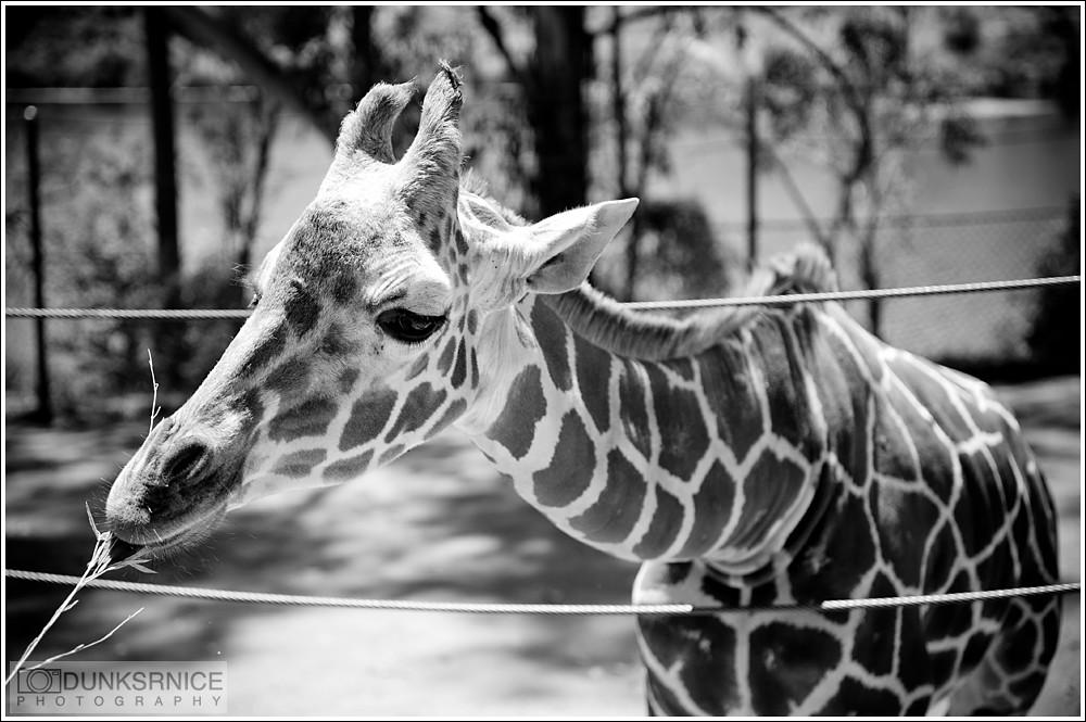Giraffe B&W.