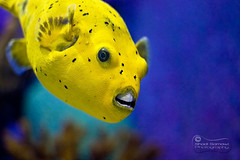 "The ""Hollywood Smile""!.. (SonOfJordan) Tags: fish color water smile yellow swim canon turkey teeth istanbul eso xsi 450d samawi sonofjordan shadisamawi wwwshadisamawicom"