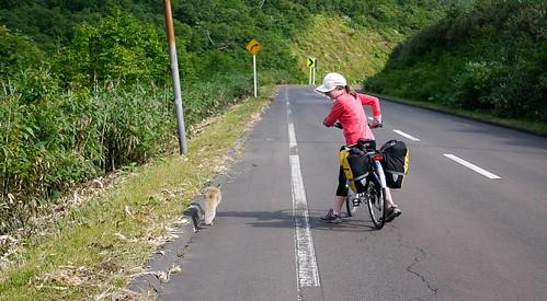 A fox on the road near Niseko, Hokkaido, Japan