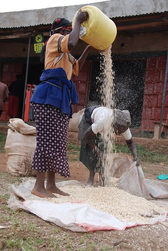 Women work together to clean the August maize harvest