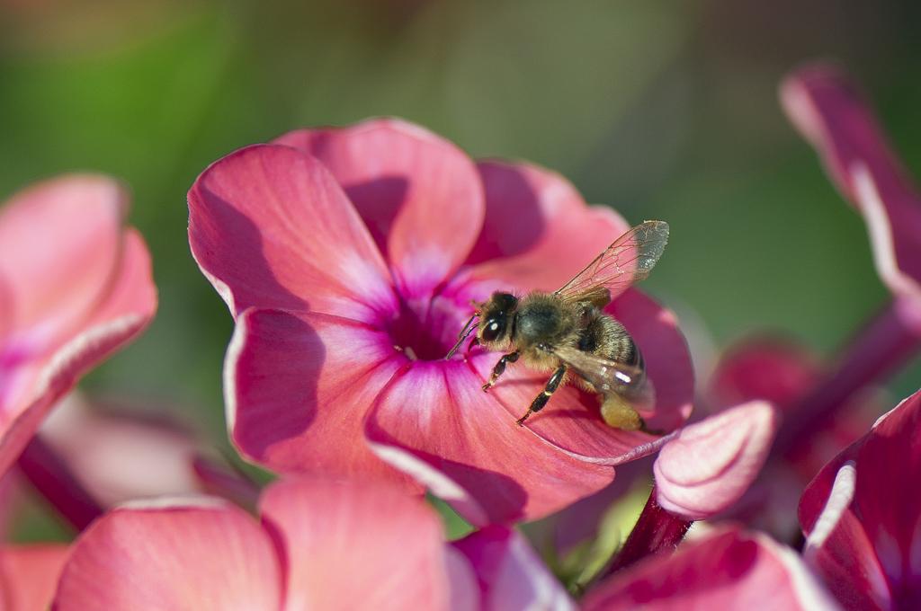 Пчела 01