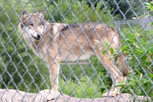 IMG_2881_Howl_Night_at_Wolf_Park