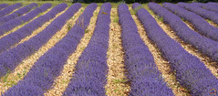 Lavanda (Giulio GMDB) Tags: nature landscape francia paesaggi lavanda campi