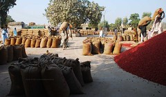 Red chilli market, Kunri, Sindh (Ameer Hamza) Tags: tree bag pepper chili market herbs spice full spices pile trading mann spicy bags bazaar sack chilli sunlit herb filling chillies packed commodity bori export businessmen banya redchilli traders spicetrade hindus 40kg kunri ameerhamzaadhia