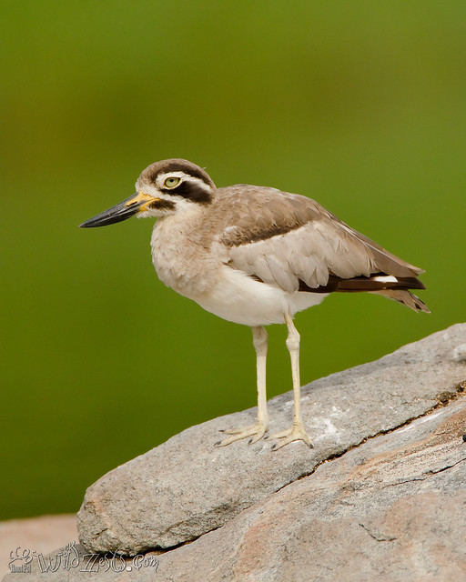 Stone Plover aka Great Thick Knee