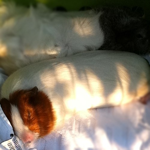 I'm so glad I brought the guinea pigs outside for fresh air and grass...so they could nap on the towel