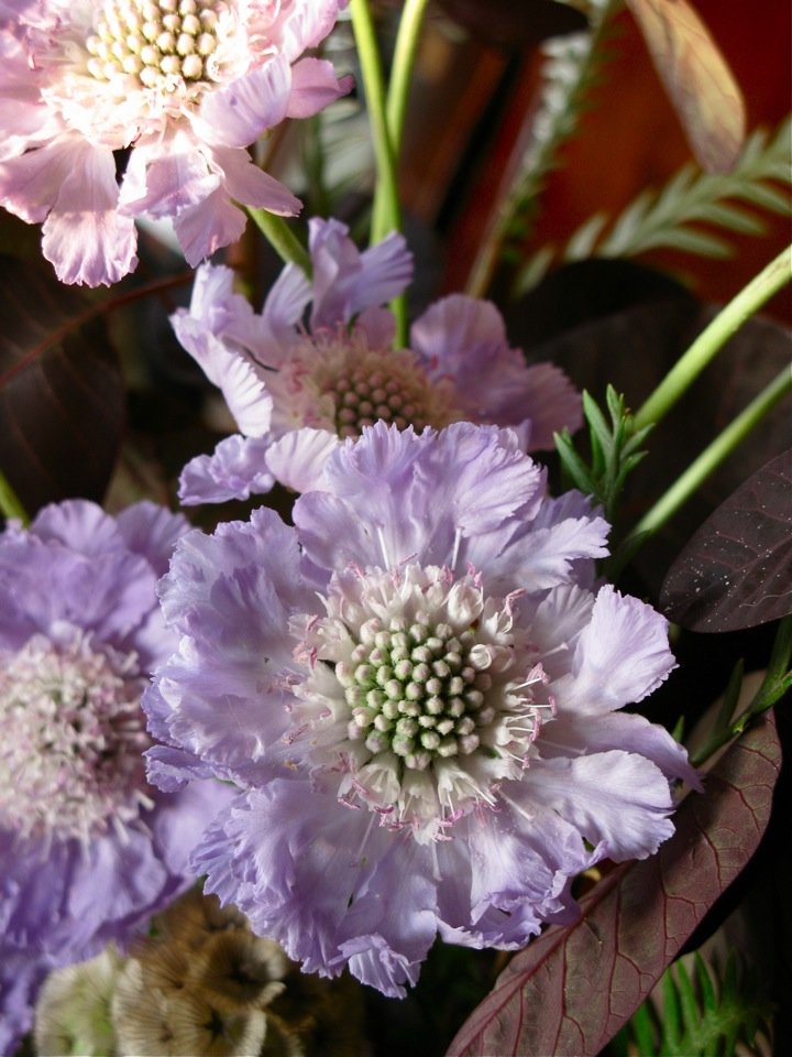 purple scabiosa flowers 004