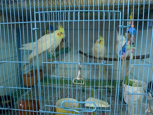 Queen's 鳥民宿的玄鳳寵物