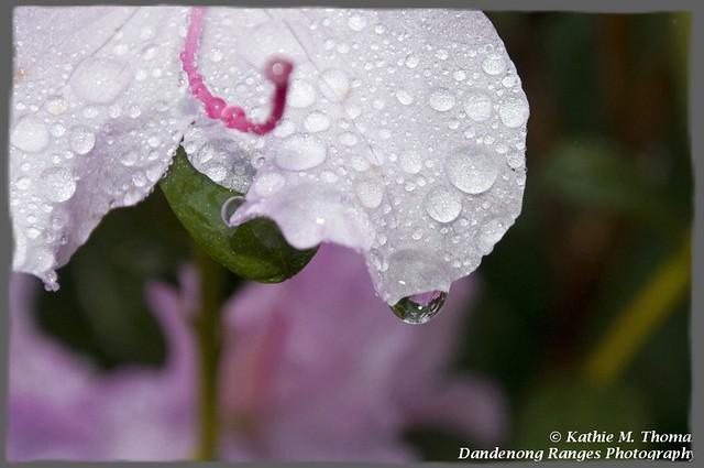 Dew drops on flower