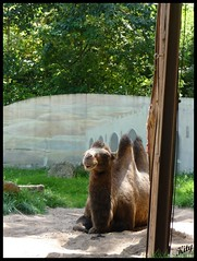 Chameau du zoo d'Amnville (kity54) Tags: animal zoo panasonic animaux lorraine dmc moselle chameau amnville tz5
