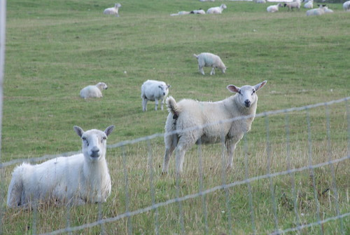 Sheep in Edderton
