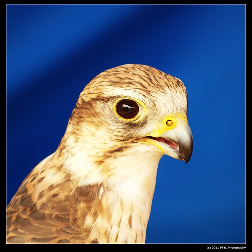 Portrait of Arrow, the Saker Falcon (Falco cherrug)