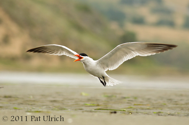 Tern taking flight - Pat Ulrich Wildlife Photography