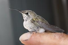 IMG_1183_Jared the Hummingbird Whisperer (sdttds) Tags: niceshot hummingbird blackchinnedhummingbird archilochusalexandri immaturefemale dazzlingshots