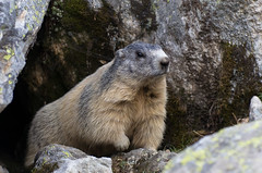 Marmottes du Mercantour, la pose (Tets07) Tags: portrait france nature alpes pentax animaux mercantour faune marmotte