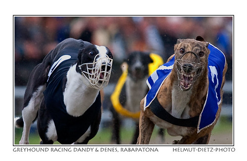 Greyhounds Dandy & Denes in Raba
