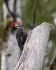 Pileated Woodpecker (Glatz Nature Photography) Tags: birds wildlife woodpeckers animalplanet northernminnesota pileatedwoodpecker minnesota2011