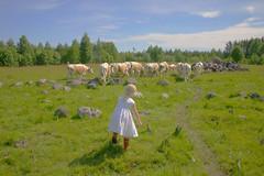 KYYTTOA02593 (Juha Jetsu) Tags: original finland cow kes tytt kyytt