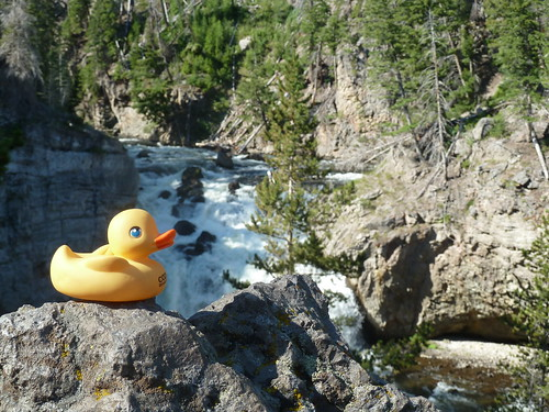 Duck in the wilderness