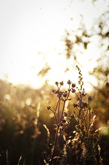 The end of summer (seventy5s) Tags: sunset plants sun colour warm bokeh