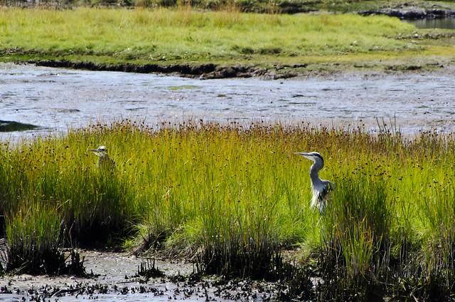 Blue Herons in Edmonds Marsh