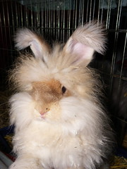 Tilda strikes the pose (ixchelbunny) Tags: rabbit bunny bunnies babies nest newborn kits angora ixchel ixchelbunny