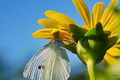Crab Spider Vs Cabbage White Butterfly (Chad Horwedel) Tags: flower butterfly bug insect spider illinois eat sunflower crabspider bolingbrook cabbagewhitebutterfly whalonlake