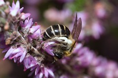 Colletes succinctus (Will_wildlife) Tags: sandy thelodge rspb