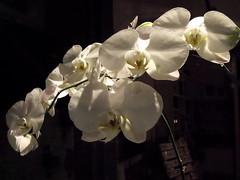 night blooms (dmixo6) Tags: summer urban toronto canada dugg dmixo6