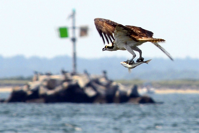 osprey catching fish six