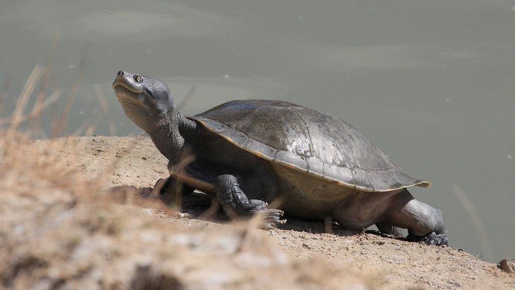 Macquarie turtle