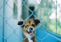 SOLA the Queen (Khnh Hmoong) Tags: dog pet film animal fence bokeh vietnam nhatrang nikonfm khnhha uxisuper200