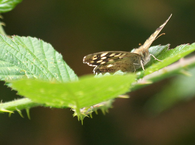 DSC_8696 speckled wood butterfly