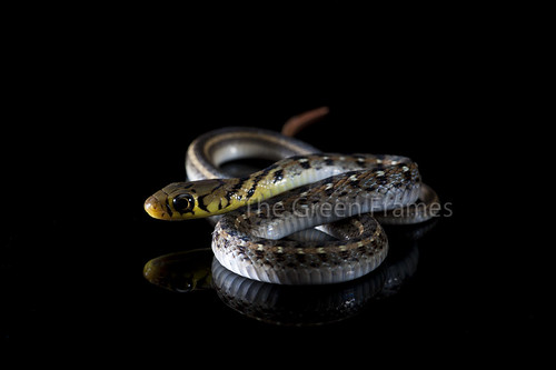 Snake Cell - more focused now! by Captain Suresh