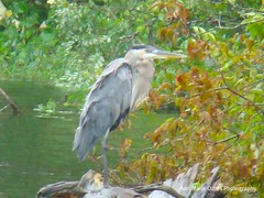RUFFLED FEATHERS (Red9898 - Ann Marie Oates-) Tags: trees nature water leaves weather animals pond afterthestorm wildlife feathers storms freshwater blueherron posthurricane
