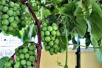 Vitis vinifera (rq) - 02-tbnl