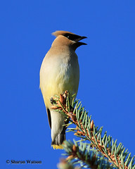 Cedar Waxwing (Bombycilla cedrorum) (Sharon's Bird Photos) Tags: summer bird fruit backyard cedarwaxwing