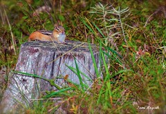 'In the Moment' (*~ Nature's Gifts Captured  ~*) Tags: summer nature grass animals nikon pennsylvania wildlife chipmunk stump poconos resting specanimal d300s