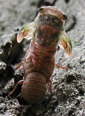cicada-hatch-0