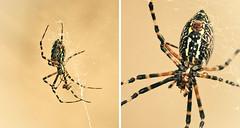 Argiope Aurantia - Black and Yellow Garden Spider (I think!) (Grizzlee Martin) Tags: garden spider nikon web creepy chrismartin argiopeaurantia 8legs d90 photosbychrismartin